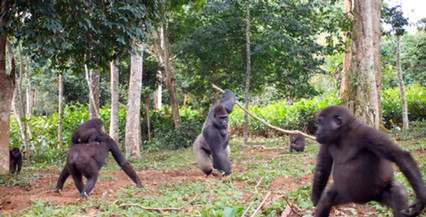 Gorilla conservation and research