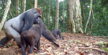 research and conservation Congo