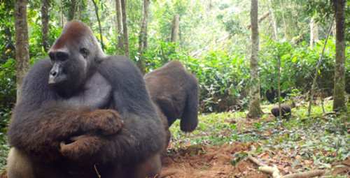 Congo Conservation research