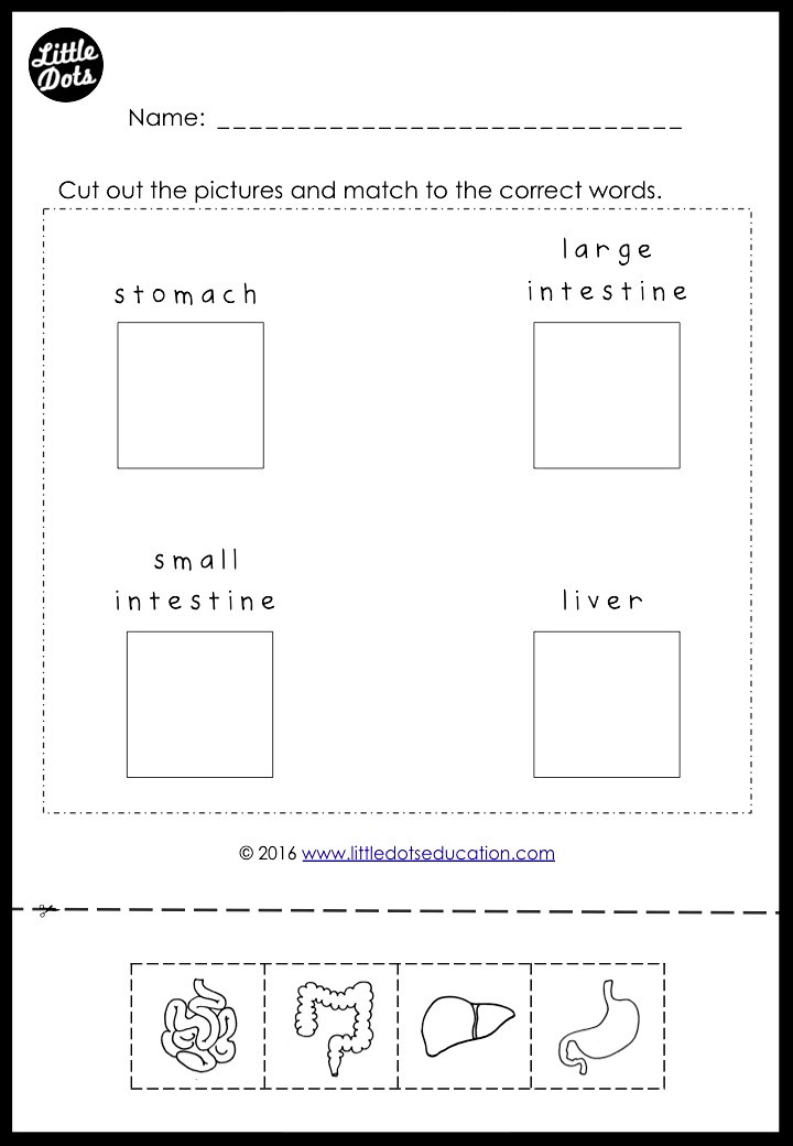 Internal Organs worksheet for kindergarten and grade 1 level. The inside of my body worksheet for kindergarten. Learn about stomach, liver, small and large intestines.