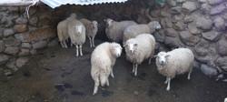 Doña Lucia's Sheep