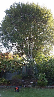 Chritchurch tree pruning service completed by our qualified arborist