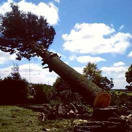 Large tree removal and tree felling in n