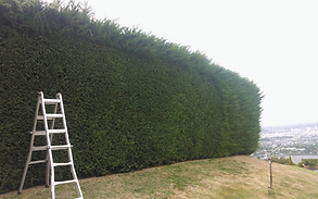 Hedge trimming in cashmere.png