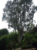 Eucalyptus tree pruning for extra light in property by our qualified arborist