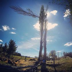 Large poplar tree removal in akaroa