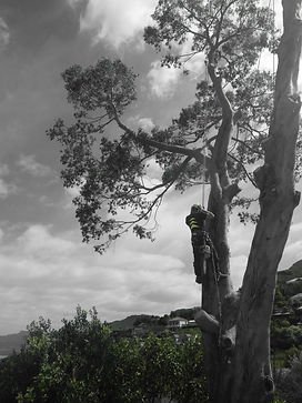 Arborist in christchurch carrying out technical tree removal