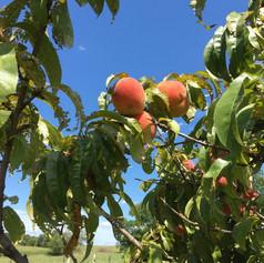 Zion's Farm peach tree2.jpg