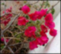 bougainvillea Andalucia