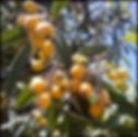 loquat tree Lentegi