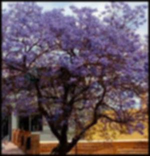 Jacaranda tree in Granada