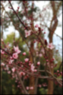 cherry blossom in Andalucia