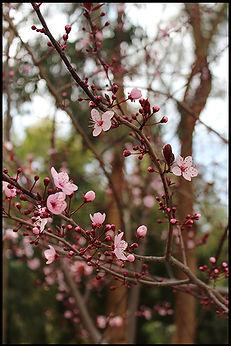 cherry blossom Sierra Nevada