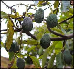 Avocado tree Costa Tropical