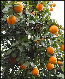 orange tree Lentegi
