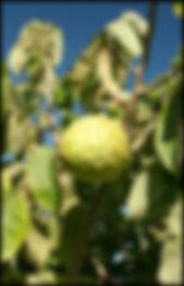 cherimoya tree