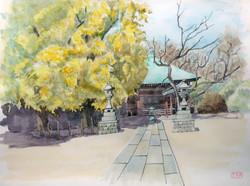 016_飯泉観音の大銀杏(神奈川・小田原市)-2011/水彩F6
