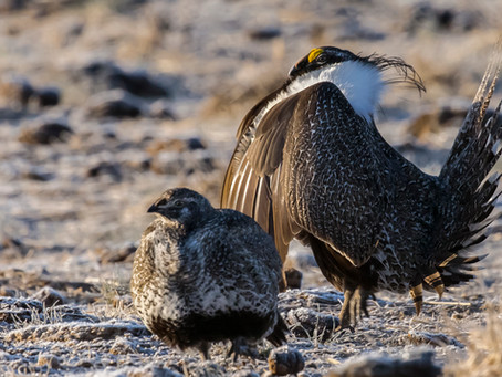 Wing Data Indicates Sage Grouse Population Slide Will Continue