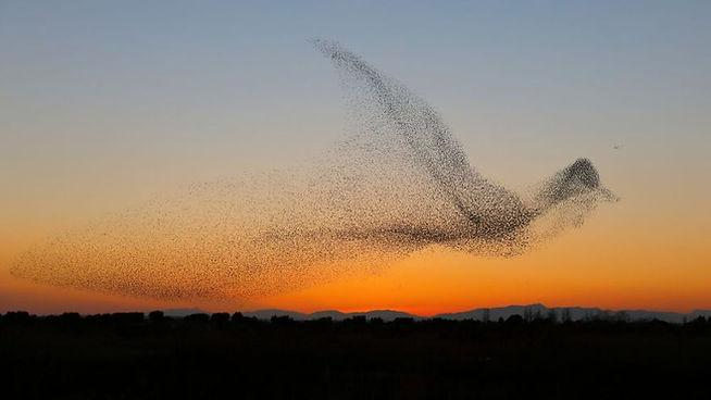 giant-bird-marmuration-starlings-daniel-
