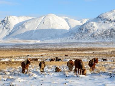 Koně pod vrcholy Snjófellu