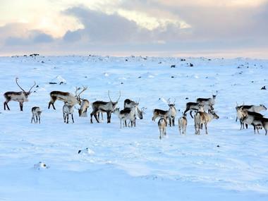 Stádo sobů severně od Vatnajökullu