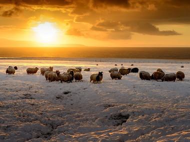 Stádo ovcí na pobřeží polosotrova Skagaheiði