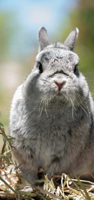 ג'רי, ארנב מגזע ננסי הולדי, צבע צינצילה,