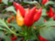 Pimentas (Capsaicina)