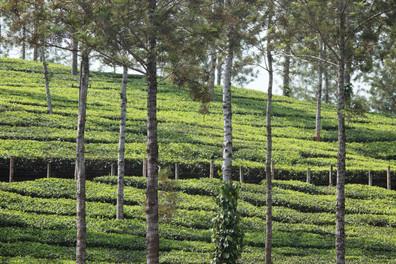 Plantation de thé au Kérala