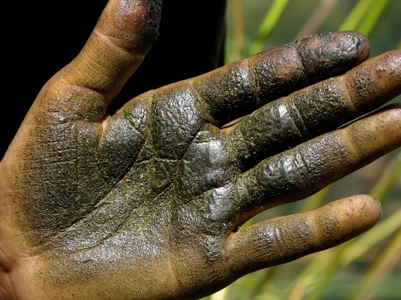 Cannabis resin collected by hand to become charas.
