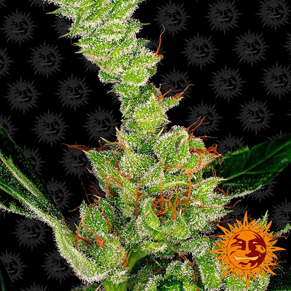 Dr. Grinspoon strain from Barney's Farm