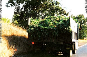 Truck with Eddy Lepp's crop spilling on highway (Cannabis Culture magazine)