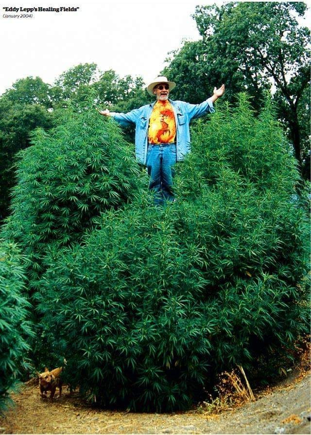 Eddy Lepp above his gigantic plants