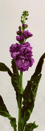 Géronflée violette