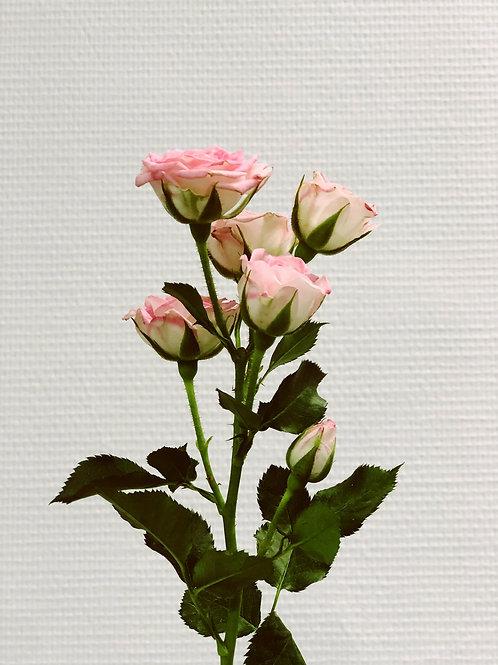 Rose ramifiée
