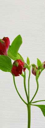 Alstroméria rouge