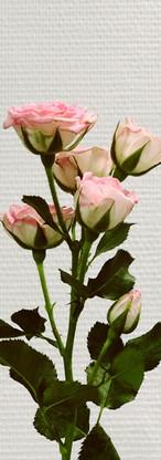 Rose ramifiée rose