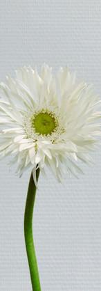 Gerbera spider blanc