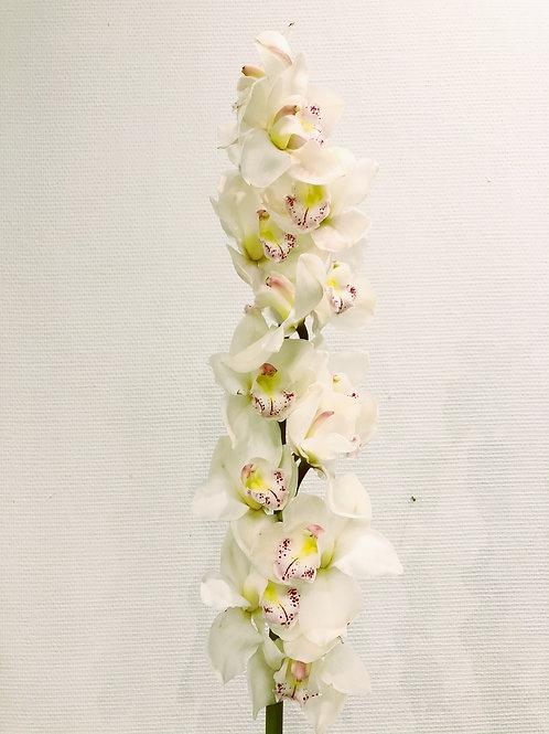 Orchidée Cybidium