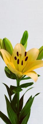 Lys asiatique jaune