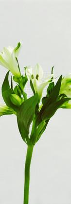 Alstroméria blanc