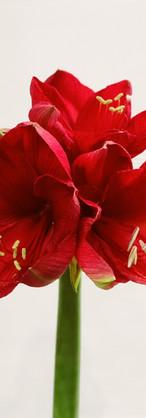 Amarylis rouge