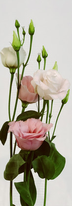 Lisanthus rose