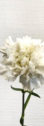 Oeillet blanc