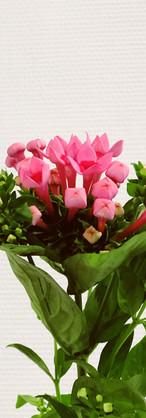 Bouvardia rose
