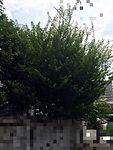 東京都杉並区山桜桃梅剪定前