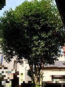 東京都杉並区金木犀伐採前