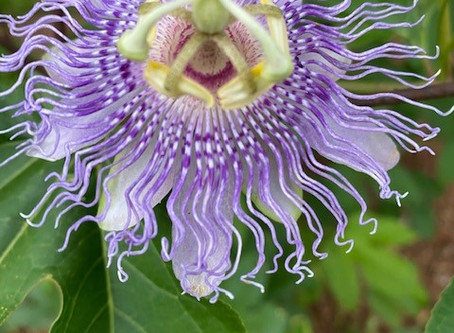 Passionflower and Lavender - Such Beauty and Peace!