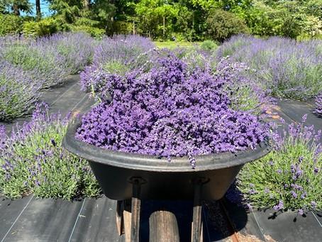 Seek Lavender Harvest 2020