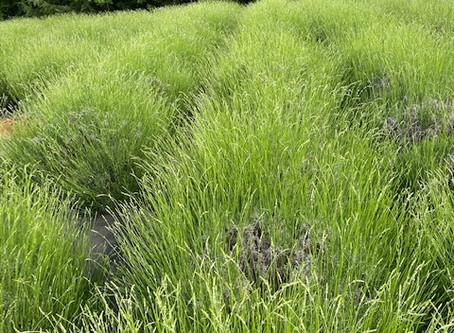 Seek Lavender Spring - Part 9